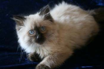 Balinese Kitten Siamese Cats For Sale Siamese Cats Balinese Cat