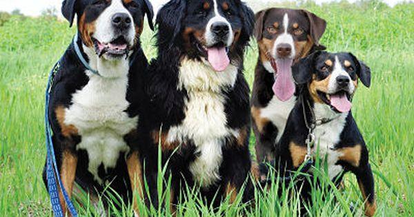 What Is A Farm Dog Entlebucher Mountain Dog Swiss Mountain Dogs