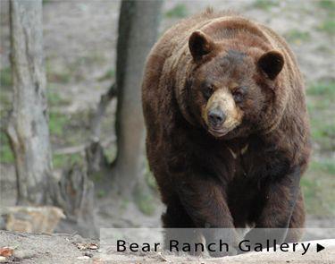 Upper Michigan Black Bears Oswald S Bear Ranch Bear Ranch Bear Ranch Newberry Michigan Michigan