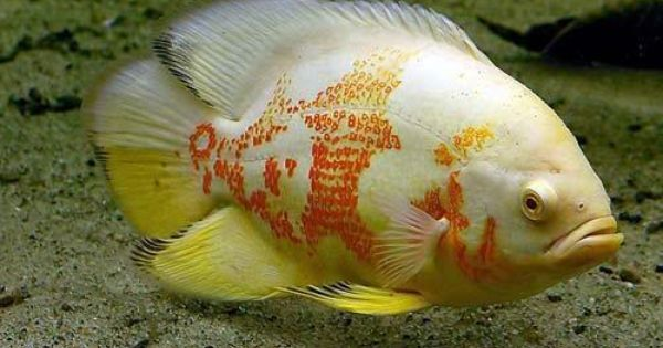 The tiger albino oscar fish like having a pit bull in for Tiger fish pictures