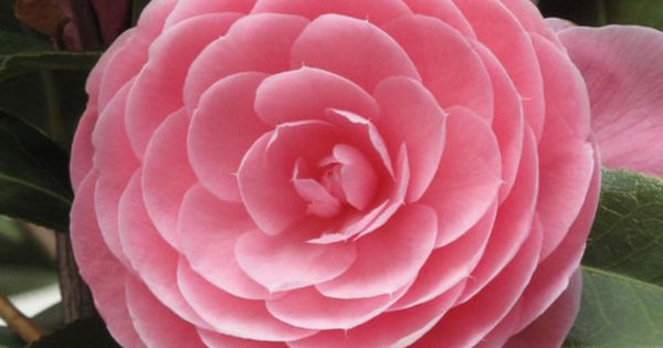 Pink Camellia There was a lady that ask yesterday what the name