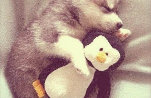 Huskie cuddling with a penguin stuffed animal. puppy dog pet animal cute photography
