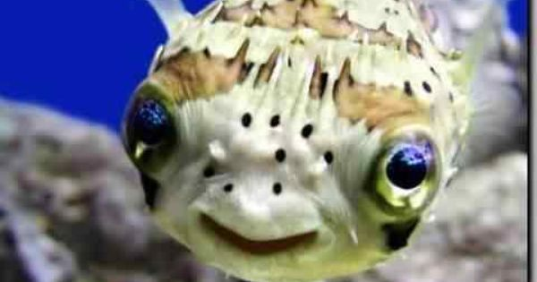 The Porcupine Puffer Has The Most Beautiful Blue Eyes He Is A Carnival And Will Devour Anything That S In His Living Spa Smiling Animals Happy Animals Animals