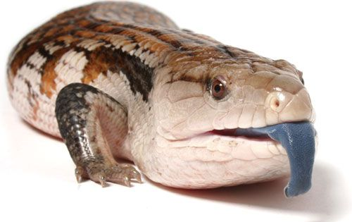 Blue Tongued Skink Sexing Blue Tongue Skink Reptiles Pet