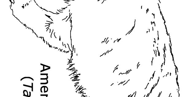american badger coloring pages | American Badger coloring page | Summer Reading 2013 ...