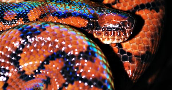 brazilian rainbow boa my favorite type of snake they are ...