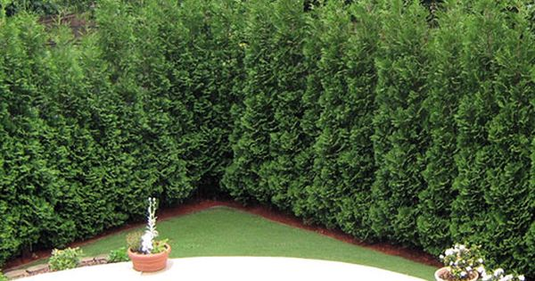American Pillar Thuja Evergreen Tree For Along The Back