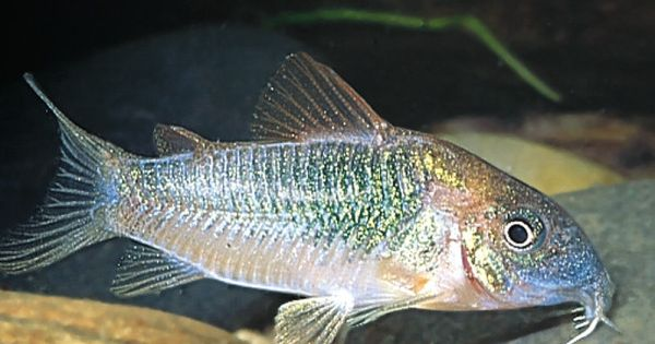 Cory catfish live fish petsmart aquarium pinterest for Petsmart live fish