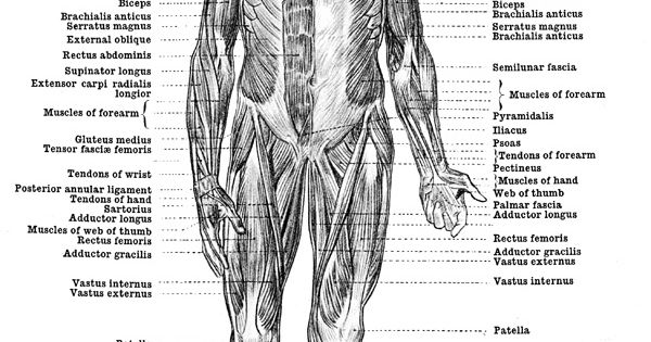 Human Anatomy Muscles - Muscles of the Body - Front View ...