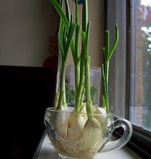 How To Grow Your Own Garlic Chives On Simple Daily Recipes Planten Planten Kweken Knoflook Kweken