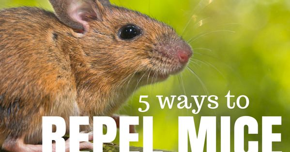 how to get rid of mice nz