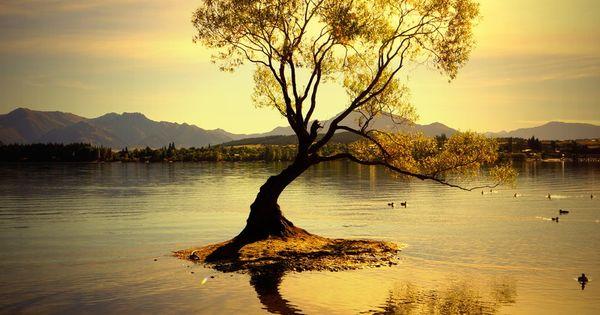 Golden tree illuminated in a golden sunset. Lake Wanaka ...