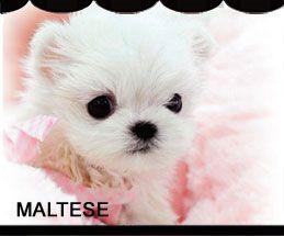 Iowa Puppies For Sale Maltese Maltese F Category In