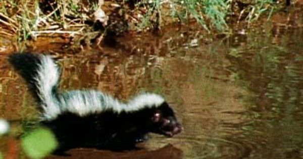 How To Create A Natural Skunk Repellent Skunk Repellent Skunk Natural Repellent