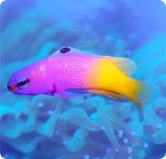 Royal Gramma Fairy Basslet Gramma Loreto Sea Animals Fish Pet Salt Water Fish