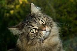 Free Norwegian Forest Cats In Ct Yahoo Image Search Results Norwegian Forest Cat Forest Cat Norwegian Forest