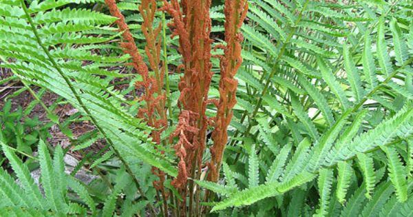 Osmunda Cinnamomea Common Name Cinnamon Fern Very