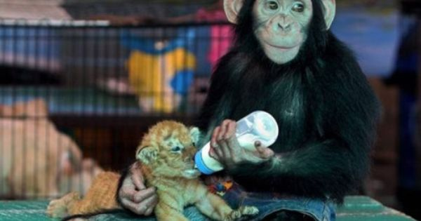 A 28-day-old golden tiger cub drinks bottled milk fed by a chimpanzee