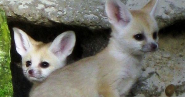 Cute baby fennec foxes the adorable foxes have the cutes - Pagina da colorare fennec fox ...
