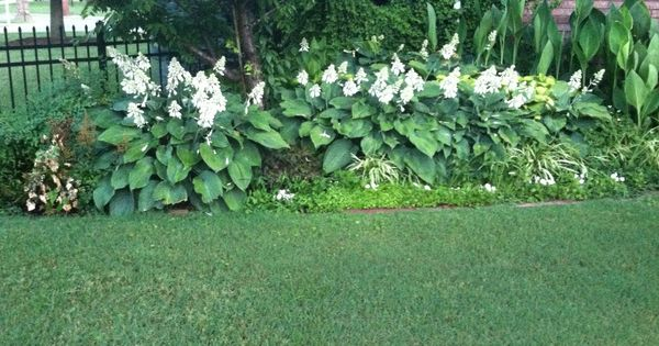 Giant Hostas Growing In Full Sun What Do The Experts Know