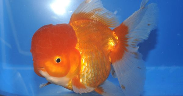 All about oranda goldfish all about goldies goldfish types life and behavior all for Koi fish life span