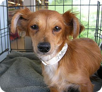 Cassie Is A 1 Year Old Long Haired Toy Dachshund Mix Available For