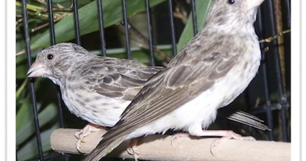 The Grey Singer Crithagra Leucopygius Also Known As The White Rumped Seedeater Grey Canary Or White Rumped Serin Is A Species Of F Finch Pets African Grey