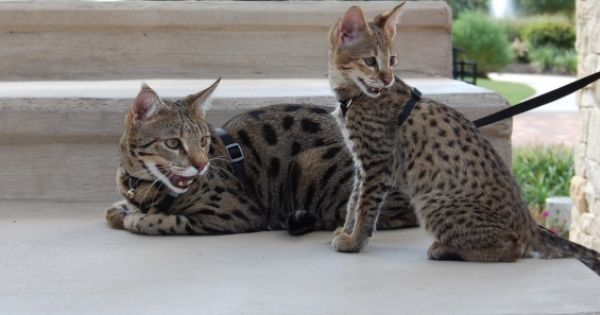 Http Www Majesticsavannahs Com Largeshangarri Sept 23rd 098 With Images Savannah Cat Kitten Photos Savannah Kitten
