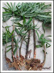 Propagating Rhapis Excelsa Lady Palm By Division John Jacq S Garden Backyard Plants Propagating Plants Palm Plant