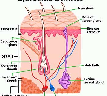 Skin Diagram And Information About Your Skin Skin Anatomy Integumentary System Human Body Anatomy