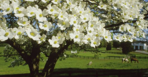 Blossoming Dogwood Tree And Grazing Horses Virginia Photographic Print Annie Griffiths Belt Art Com Dogwood Trees Dogwood Flowering Trees