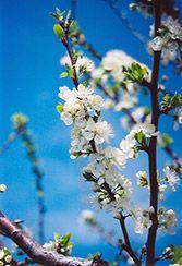 Mount Royal Dwarf Plum Prunus Mount Royal At Bachman S Landscaping Mount Royal Edible Landscaping Deciduous Trees