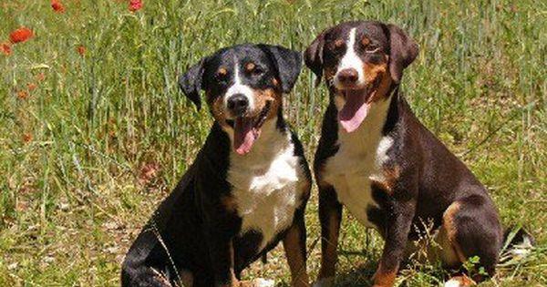 Appenzeller Sennenhunde Vgas Vgass Webseite Entlebucher Sennenhund Sennenhund Appenzeller Hund