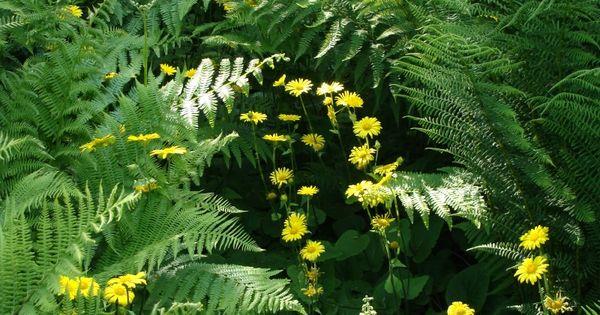 Good Farne Natur Pflanzen gelbe Blumen Bl ten Berggarten Herrenh user G rten Hannover Fr hling Fern farn kaprad Pinterest Ad Hannover and D