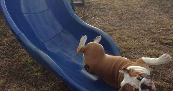 This Beautiful Bulldog Gracefully Sliding Down A Twisty Slide Animated Movies Funny Funny Dog Photos American Funny Videos
