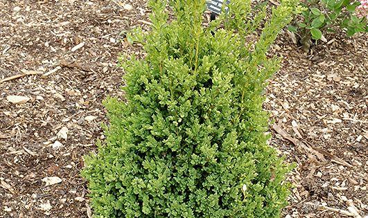 Green Mountain Pyramidal Boxwood Buxus Green Mountain