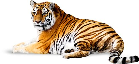 Download Png Image Tiger Png Image Free Download Tigers Tiger Images Tiger Pictures Png
