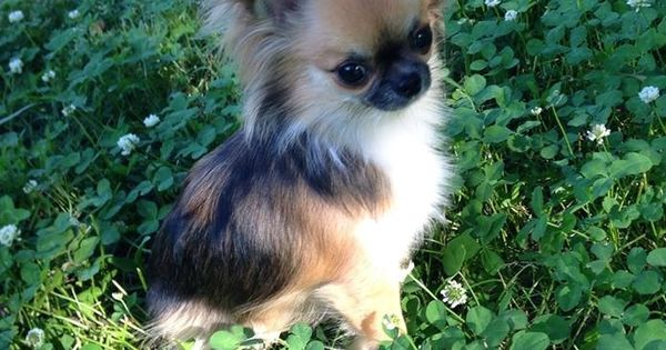 Chihuahua, long-haired. My goodness, it looks like a ... | 600 x 315 jpeg 48kB