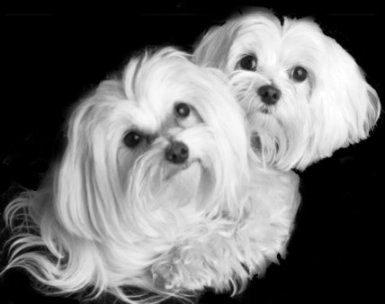 1 All Systems Maltese Dogs Best Dog Food Maltese Puppy