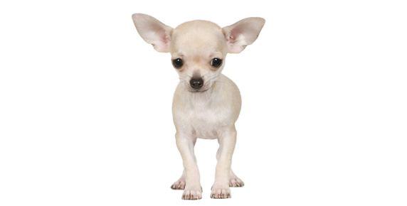 Common Chihuahua Health Problems Cute Chihuahua Chihuahua