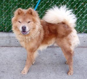 Lion A1100713 Dog Adoption Dogs Shelter Dogs