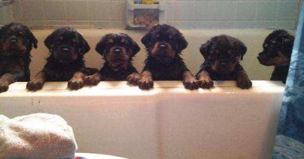 German Rottweiler Puppies For Sale Rottweiler Breeders Rottweilers