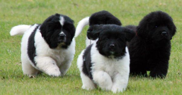 Kloofbear 6 Week Old Newfoundland Puppies My Heart Is Racing I