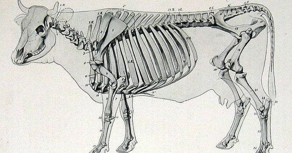 Comparative Anatomy Of Forelimb Of Camel Ox And Horse: 1917 Anatomy Illustration Skeleton Of The Ox (Cow) P126