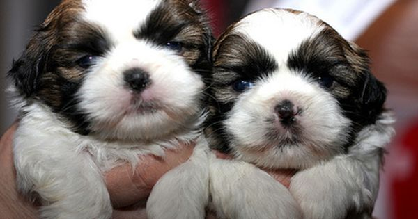 Dog Flipping Is Immoral And On The Rise Shih Tzu Puppy Shih Tzu Cute Puppies