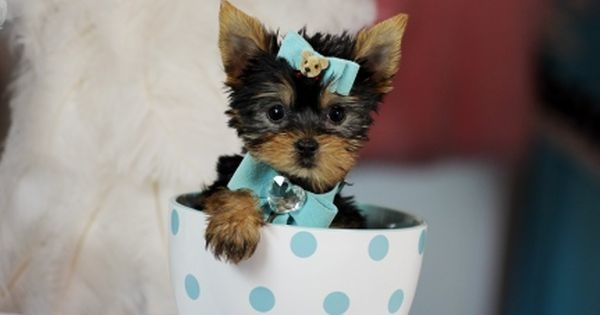 Teacup Dogs Tiny Dog Breeds With Huge Personalities