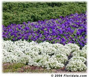 Here White Sweet Alyssum Is Paired With Brilliant Blue Wave