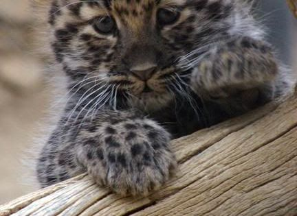 """Baby Leopard. The leopard is one of the five """"big cats"""" in"""