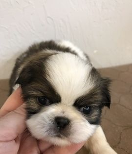 Litter Of 7 Japanese Chin Puppies For Sale In Salem Or Adn 63566 On Puppyfinder Com Gender Male Age 5 Japanese Chin Puppies Puppies For Sale Japanese Chin