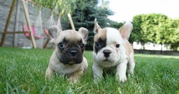 Buldog Francuski Buldogi Francuskie 6451050092 Oficjalne Archiwum Allegro French Bulldog Puppies Bulldog Puppies French Bulldog
